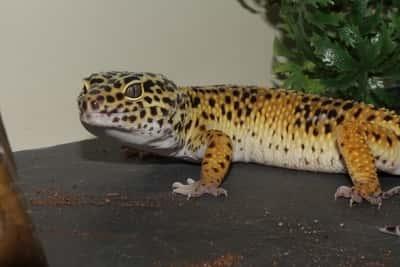 Why Is My Leopard Gecko Dark?