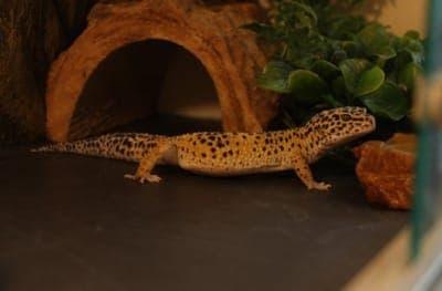 Do Leopard Geckos Poop in the Same Spot?
