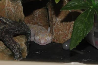 Do Leopard Geckos Get Bored?