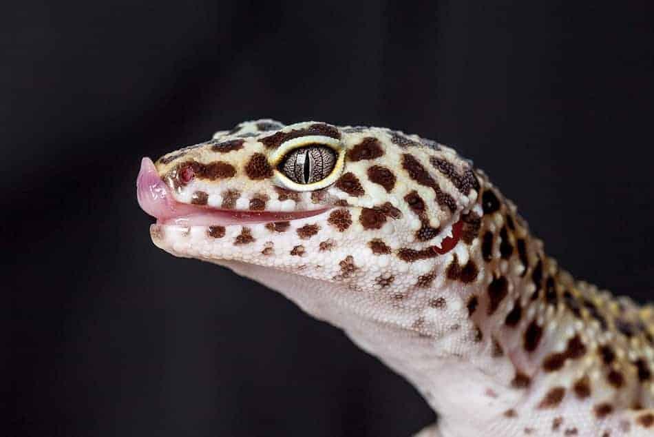 Why Do Leopard Geckos Lick Their Nose?