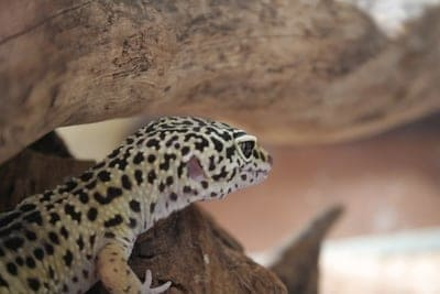 What Do Leopard Geckos Eat in the Wild?