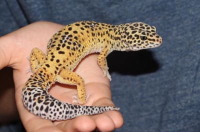 How Long Does It Take For A Leopard Gecko To Reach Full Size?