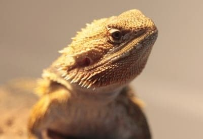 Can Leopard Geckos Live with Bearded Dragons? 9 Reasons Why Not