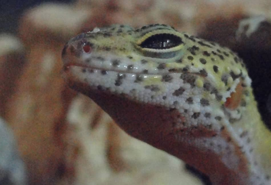 Why Your Leopard Gecko Is Aggressive (With 12 Reasons)