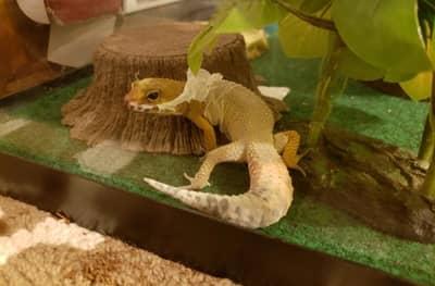 Why Isn't My Leopard Gecko Shedding?