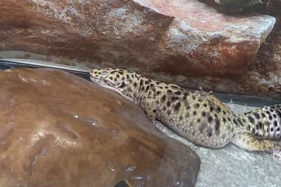 Why Are Leopard Geckos Bumpy?