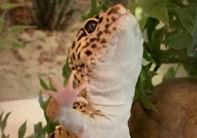Why Does My Leopard Gecko Keep Trying to Escape?