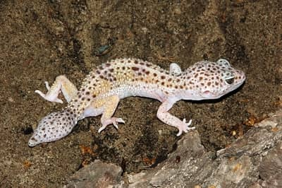 Does It Hurt When a Leopard Gecko Loses Its Tail?