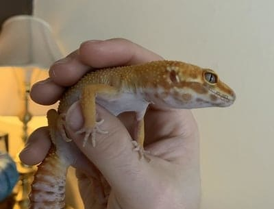 How to Tame an Older Leopard Gecko (5 Tips)