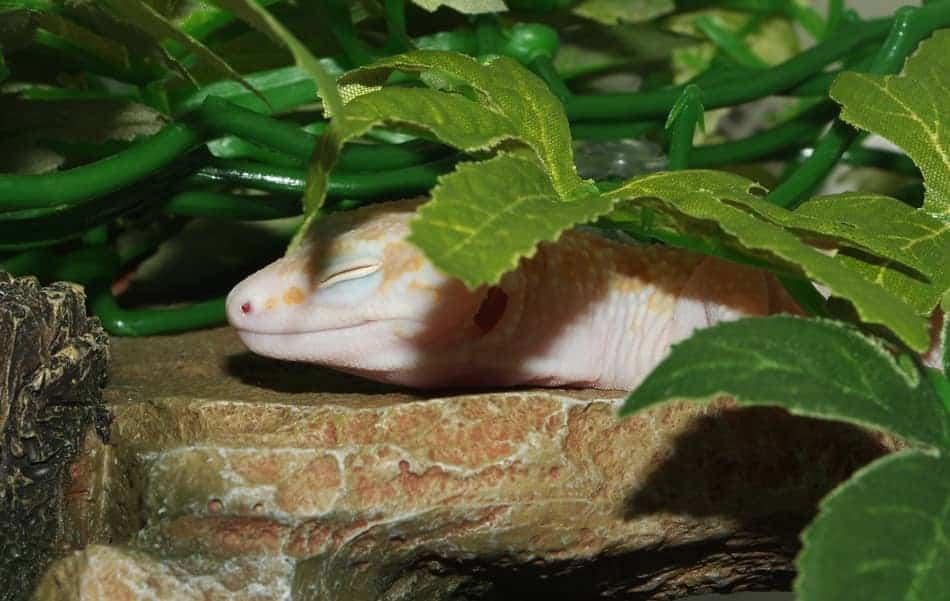 Will Leopard Geckos Kill Each Other?