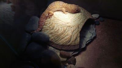 Can Leopard Geckos Use Heat Rocks?