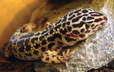 Why Isn't My Leopard Gecko Active?