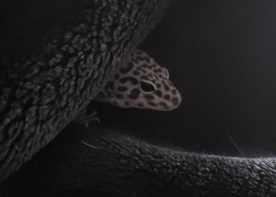 Can Leopard Geckos See in the Dark?