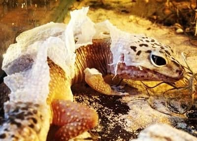 Why Is My Leopard Gecko Shedding Too Often?