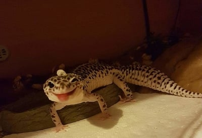 Are Leopard Geckos From PetSmart Healthy?