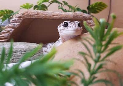 Can I Put Live Plants in With My Leopard Gecko?