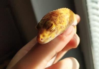 Do Leopard Geckos Like to Be Held?