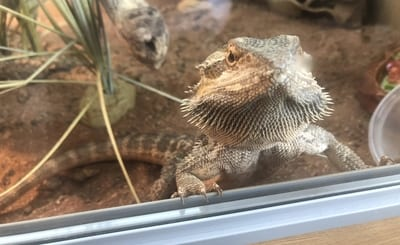 Do Bearded Dragons Miss Their Owners?