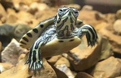 Why Isn't My Turtle Growing?