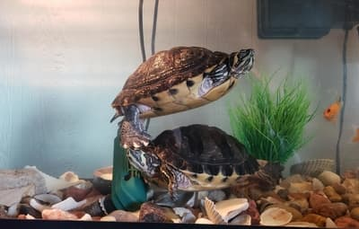 Why Is My Turtle Staying in the Water?