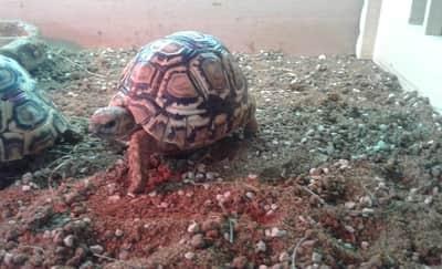 Why Does My Tortoise Pee White Stuff?