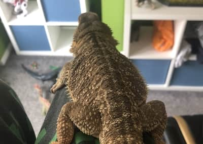 Can a Bearded Dragon Survive a Fall?
