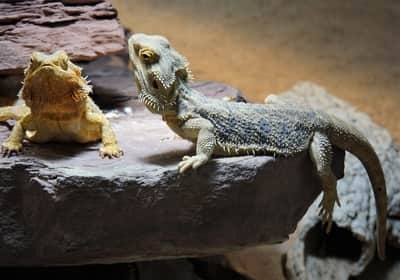 Why Are My Bearded Dragons Fighting?