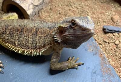 Why Are Bearded Dragons So Calm?