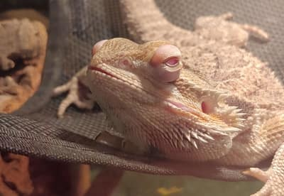 How to Get Your Bearded Dragon to Like You (4 Tips)