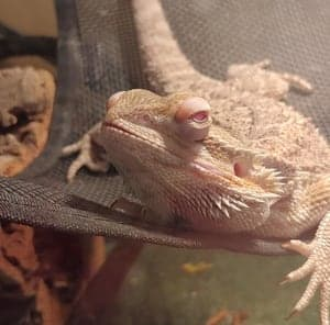 Why Is My Bearded Dragon Rubbing His Face?