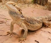 How to Bathe Your Bearded Dragon (Quick Guide)