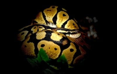Why Does My Ball Python Only Come Out at Night?