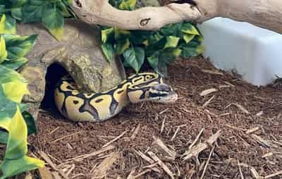 Why Is My Ball Python Moving So Much?