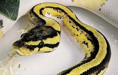 Why Does My Ball Python Miss His Food?