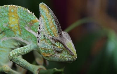 Why Won't My Chameleon Open His Eyes?