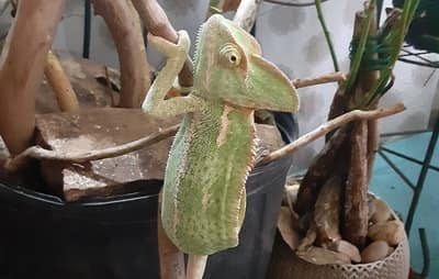 Why Does My Chameleon Keep Going to the Bottom of His Cage?