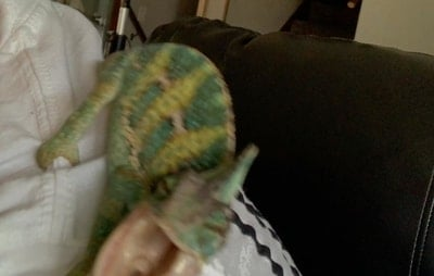 Why Is My Chameleon Aggressive?