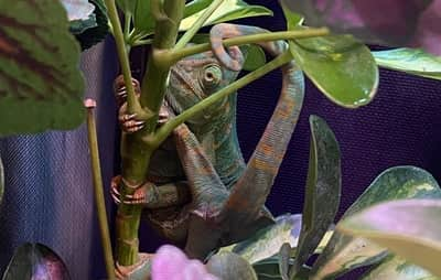 Why Does My Chameleon Keep Falling?