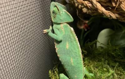 Can Chameleons Walk On Walls?