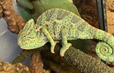 Do Chameleons Like Music?