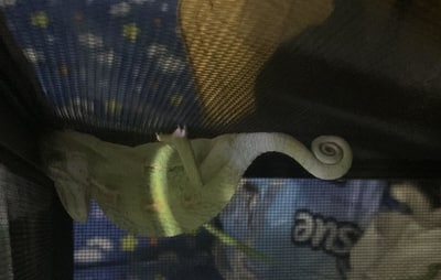 Why Is My Chameleon Sleeping Upside Down?