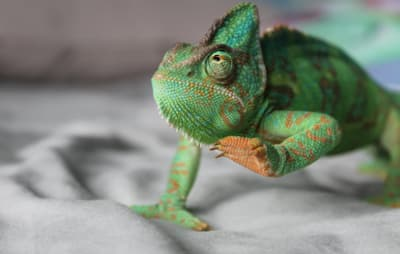 Why Do Chameleons Hesitate When They Walk?