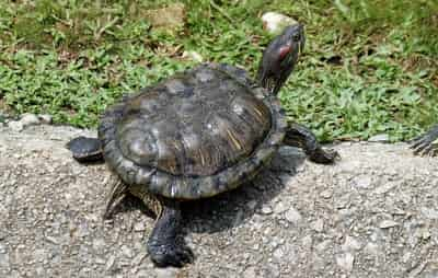 Why Does My Tortoise Wiggle His Bum?