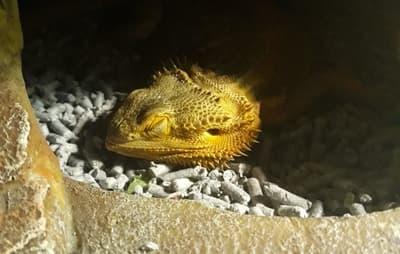 Why Do My Bearded Dragons Look Dead When They Sleep?