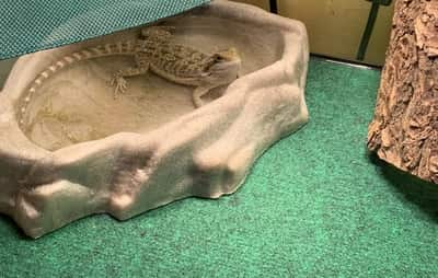 Why Does My Bearded Dragon Poop in His Water Bowl?