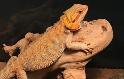 Why Is My Bearded Dragon's Beard Orange?