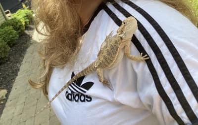 Will My Bearded Dragon Jump Off My Shoulder?