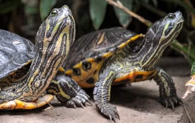 Can a Turtle and a Tortoise Live Together?
