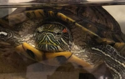 Why Is My Turtle Spitting Water?