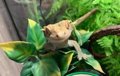 Why Is My Crested Gecko Licking His Bum?